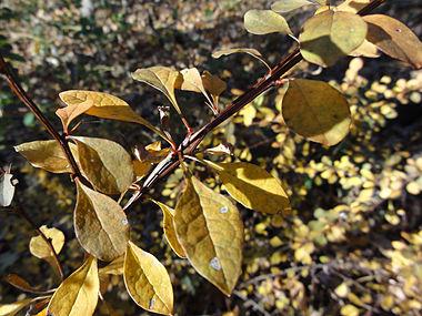 Berberis thunbergii SCA-05333.jpg