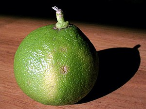 A bergamot orange from Calabria, Italy. Photo ...