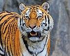 Berlin Tierpark Friedrichsfelde 12-2015 img25 Siberian tiger.jpg