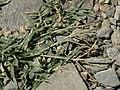Bermuda grass, Cynodon dactylon (16434099448).jpg