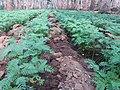 Betel crop plants.jpg