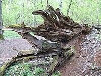 Białowieski Park Narodowy Dąb Jagiełły 2 by Maire.JPG