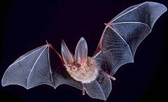 Townsend's big-eared bat.  Wikipeida.