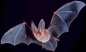 Unclean animal - Townsend's big-eared bat
