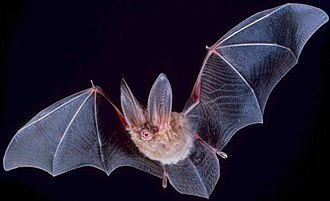 Bat - Wing membranes (patagia) of Townsend's big-eared bat, Corynorhinus townsendii