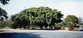 Miriam Vale - Big Fig Tree