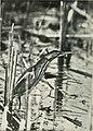 Bird-lore (1917) (14569055918).jpg