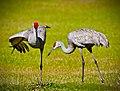 Birds in grassland (17687925429).jpg