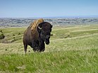 Bison Badlands South Dakota.jpg