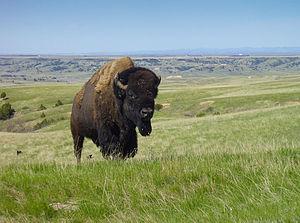 English: Bison in Badlands National Park