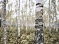 Bjørkeplantefelt på Krabyskogen 09-10-19 2.jpg