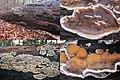 Bjerkandera adusta (Smoky Bracket, D= Angebrannter Rauchporling, F= Polypore brûlé, NL= Grijze buisjeszwam) white spores and causes white rot, at Ede forest - panoramio.jpg