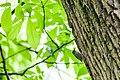 Black-and-white warbler (19769575512).jpg