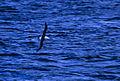 Black-browed Albatross - Tierra del Fuego - Argentina 6 (15388639111) (2).jpg