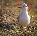 Black-headed gull (32889939056).jpg