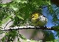 Black-throated Green Warbler gets a yummy (37134735393).jpg