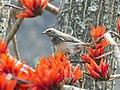 Black-throated Thrush, Nepal (crop).jpg