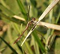 Black-winged Dragonlet. Erythrodiplax funerea (28957876148).jpg
