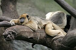 Black Howler Monkey.jpg
