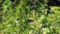 Black Swallowtail (14438366285).jpg