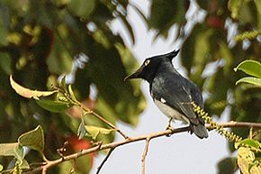 Black and white flycatcher.jpg