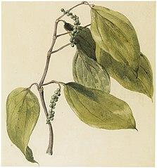 Black pepper vine