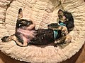 Black small poodle resting (lying on back) in cream coloured soft pet bed for dogs . Norway 2018-12-24 B.jpg