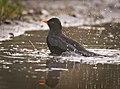 Blackbird in bath (50810029587).jpg
