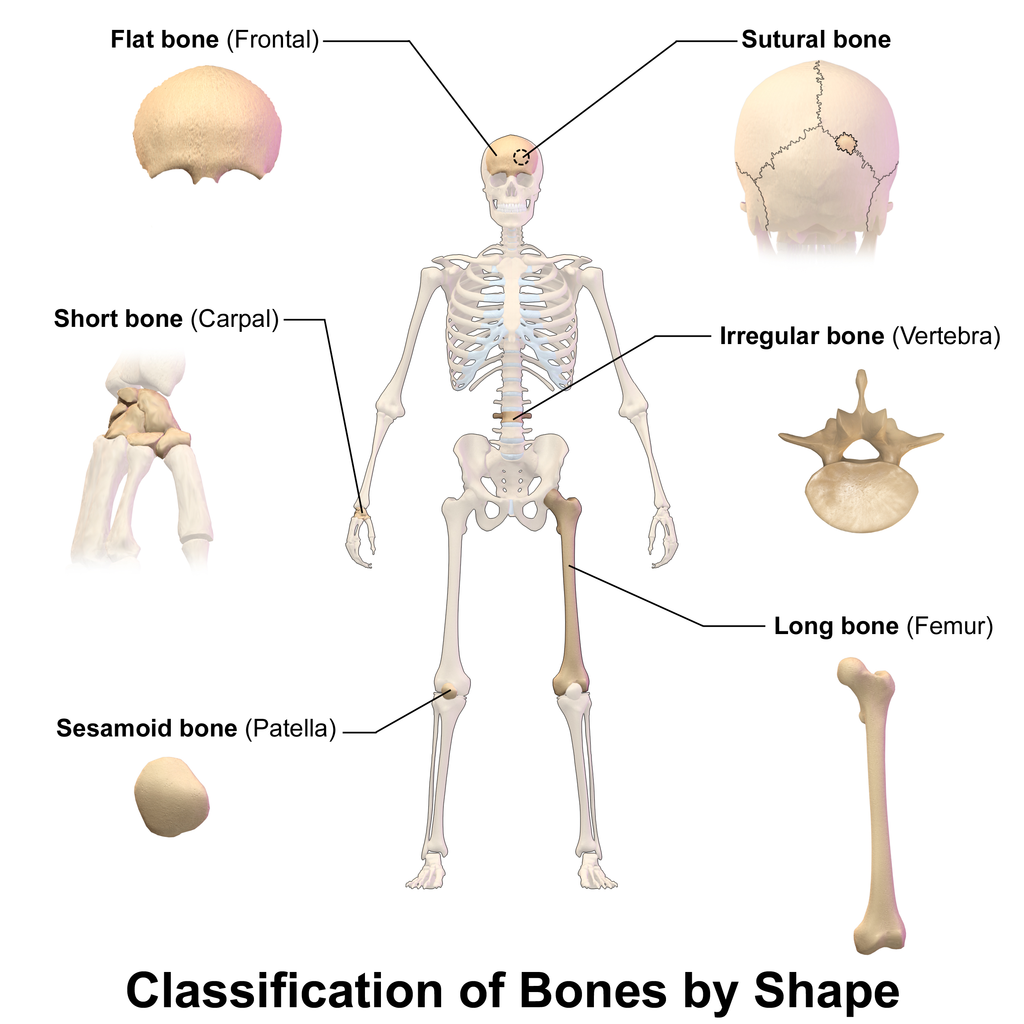 Blausen 0229 ClassificationofBones