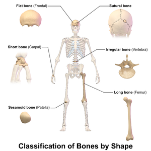 Flat bone - Image: Blausen 0229 Classificationof Bones