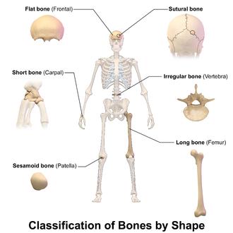 Flat bone - Image: Blausen 0229 Classificationof Bones