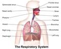 Blausen 0770 RespiratorySystem 02.png