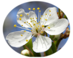 Blossom of Mirabelle plum (cropped transparent).png