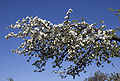 Blossoming old apple tree.jpg