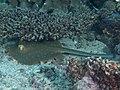 Blue-spotted ribbontail ray (Taeniura lymma) (48812962056).jpg