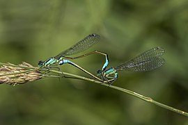 Blue-tailed damselfies (Ischnura elegans) mating female typica 4.jpg