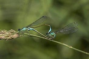 Blue-tailed damselfies (Ischnura elegans) mating female typica 4.jpg