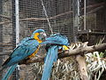 Blue-throated Macaws 01.jpg