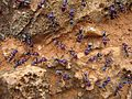 Blue Ants - Flickr - GregTheBusker.jpg
