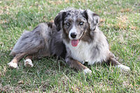 Blue Merle Miniature American Shepherd in Grass.jpg