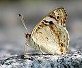 Blue Pansy Junonia Orithya (5675198924).jpg
