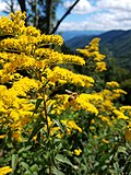 Blue Ridge Parkway Mountains, yellow flower milk weed with honeybee. 01.jpg