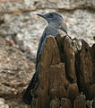 Blue Rock Thrush (Monticola solitarius)- Male in Bhongir, AP W IMG 3094.jpg