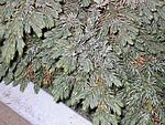 Blue Star Juniper garden show 2.jpg