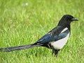 Blue Wings (16743714096).jpg