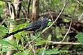 Blue faced malkoha (Phaenicophaeus viridirostris) നീലക്കണ്ണന് പച്ചച്ചുണ്ടൻ. (41942754491).jpg