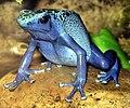 Blue poison dart frog arp.jpg