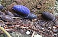 Blue woodlouse (6 Aug 2014 Netherlands).jpg