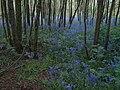 Bluebells, Foredown Plantation - geograph.org.uk - 1301987.jpg