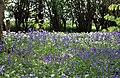 Bluebells and Wild Garlic - geograph.org.uk - 1285306.jpg